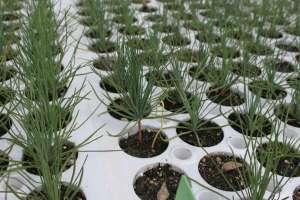 Sonderegger_pine_seedling